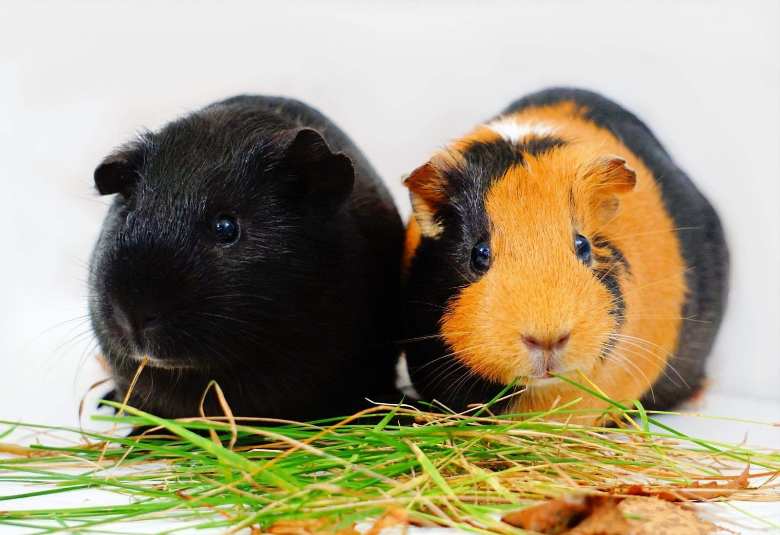 Guinea Pigs in Bromley