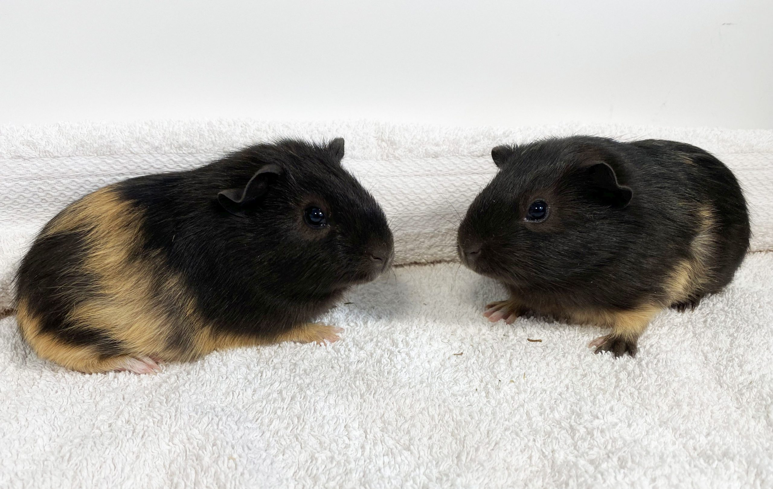 two boy guinea pigs
