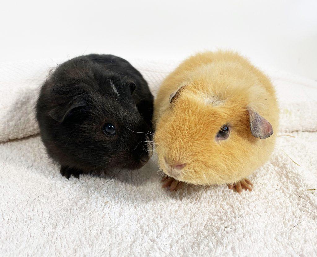Martin the guinea pig